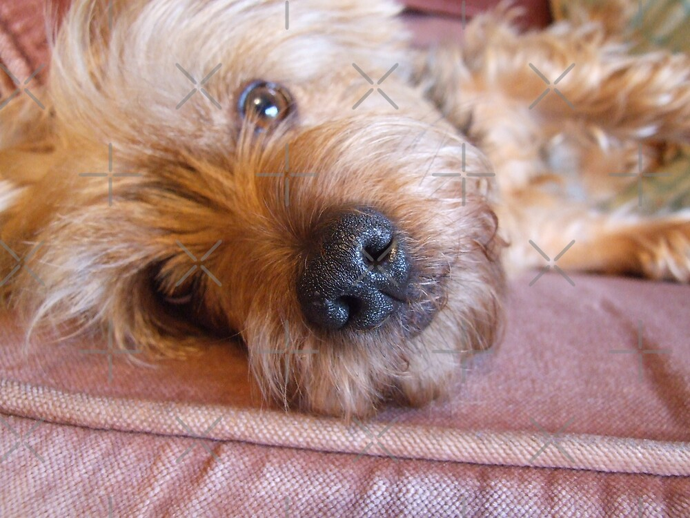 Relaxed Yorkie by EventHorizon