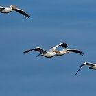 Four White Pelicans Approaching by TJ Baccari Photography