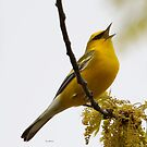blue winged warbler by Dennis Cheeseman