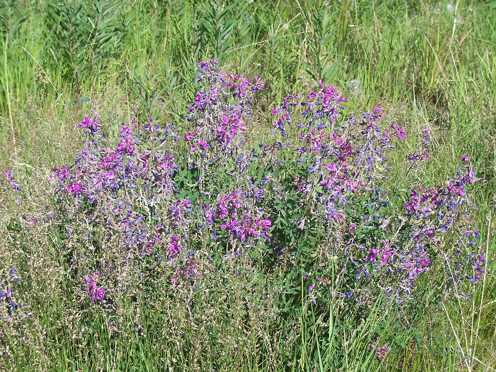 More wildflowers by fenner