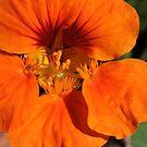 orange flower by veins