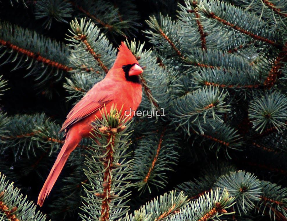 The Cardinal by cherylc1