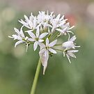 Wild Garlic by JEZ22