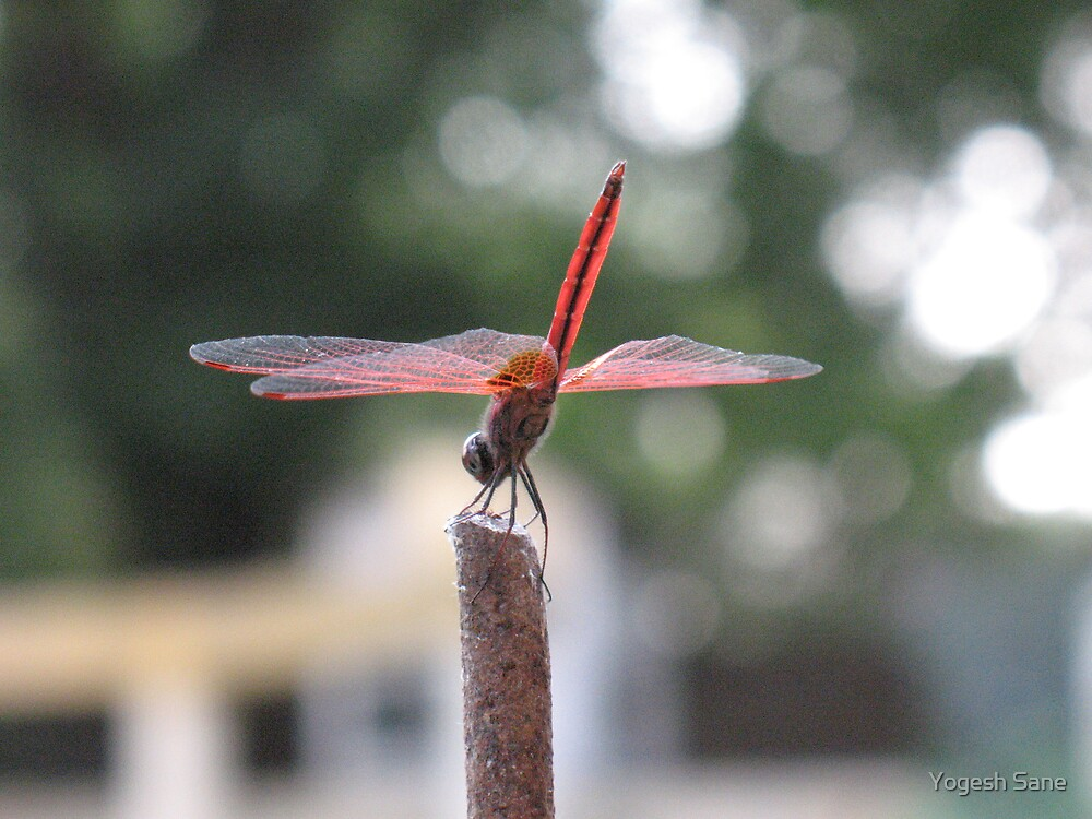 Dragonfly by Yogesh Sane