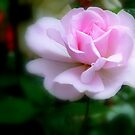Forever Yours...Light Pink Rose - NZ by AndreaEL