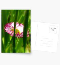 Make way Pink Bloom Peeking Through! - Wild Daisy - NZ - Southland Postcards