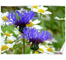 Passion Amongst The Daisies - Bachelor's Button - Southland NZ Poster
