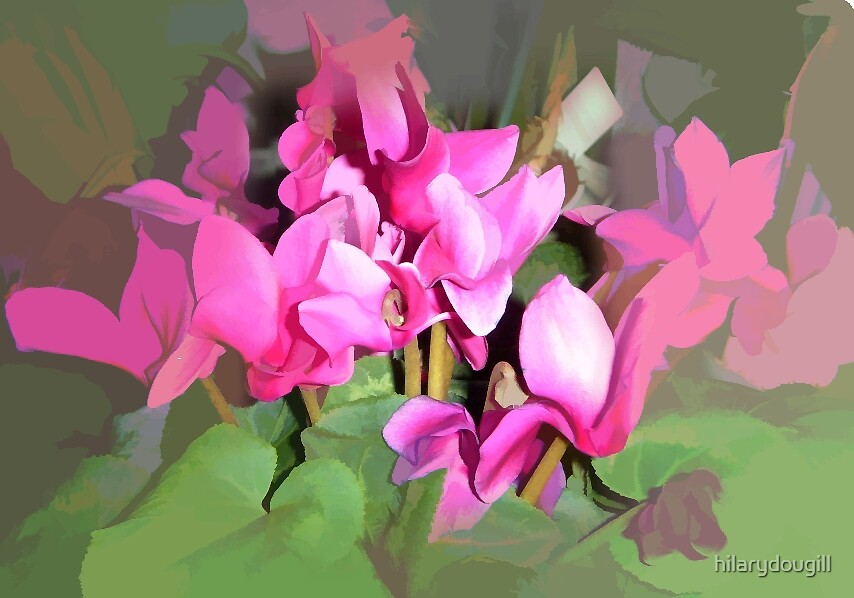 Cyclamen with a difference by hilarydougill