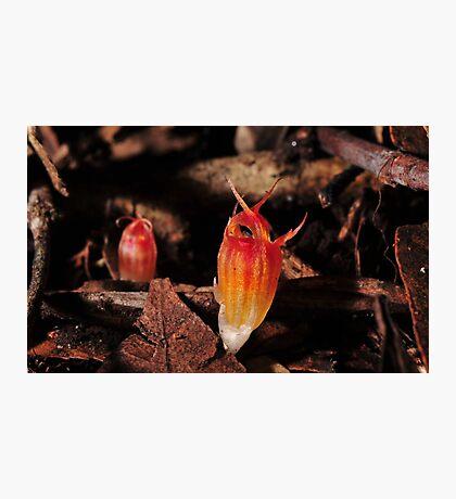 Thismia megalongensis 2  Photographic Print