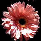 Happy Mother's Day card/tote/mug/pillow/case: gerbera daisy by hummingbirds