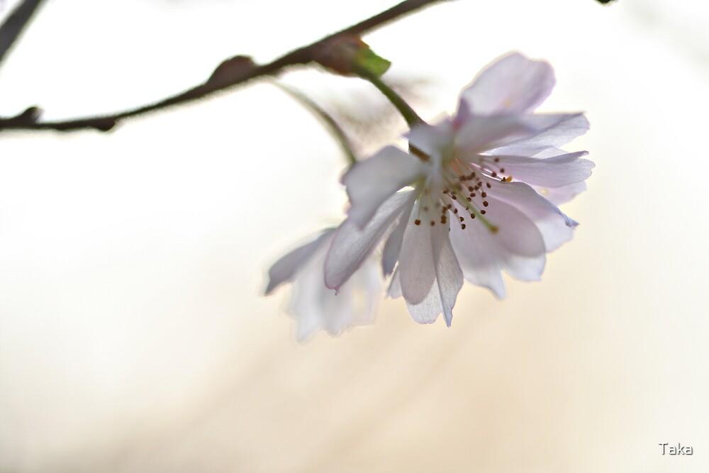 November Blossom by Taka