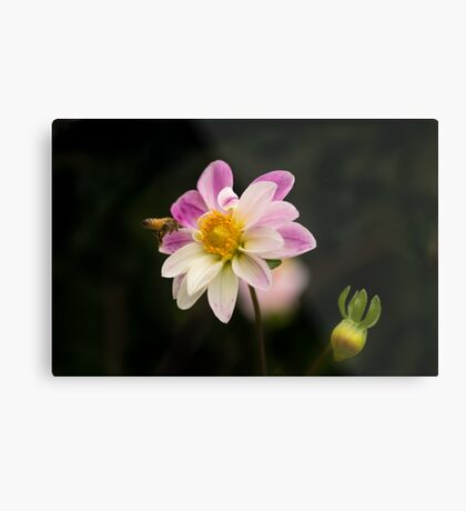 Making a Beeline for the Dahlia Metal Print