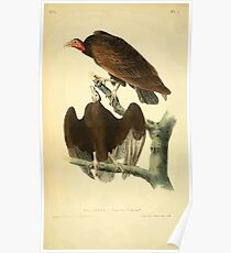 James Audubon Vector Rebuild - The Birds of America - From Drawings Made in the United States and Their Territories V 1-7 1840 - Red Headed Turkey Vulture Poster