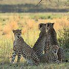 Family of Cheetah by John Banks