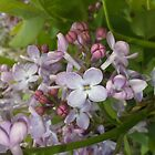 Lilac Buds and Blooms by Jane Neill-Hancock