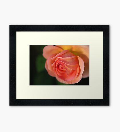 Beautiful Orange In Rose Flower Framed Print