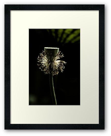 Lotus by Janos Sison