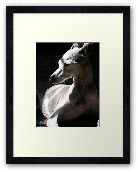 Italian Greyhound in Light by Rebekah  McLeod