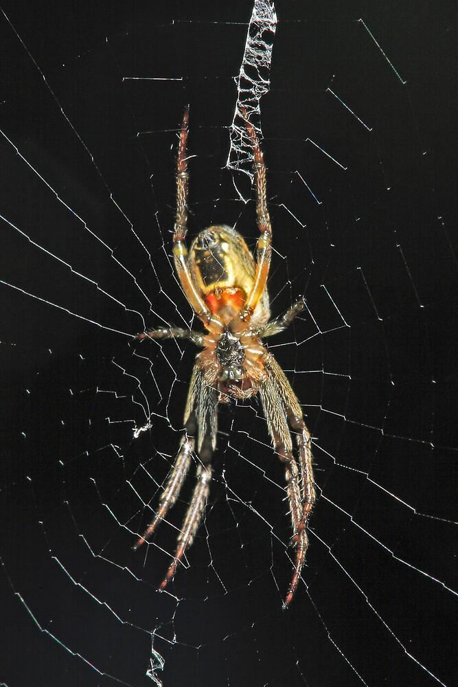 Spider in Web by Colin  Ewington