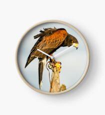 Harris Hawk on watch Clock