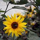 The sunflower by Christian  Zammit