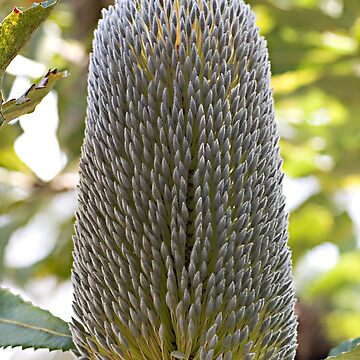 Old Man Banksia (Banksia serrata) by MountainHideAway