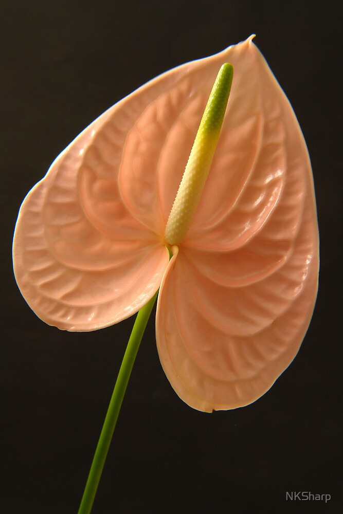 Peach Anthurium on black background. by NKSharp