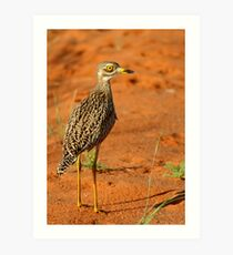 Spotted thick-knee! Art Print