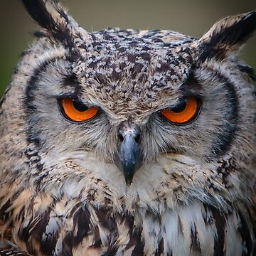 Amber eyes of an Indian Eagle Owl by Dalyn