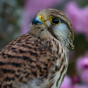 Female Kestrel by Dalyn