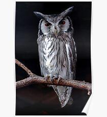 Scops Owl Poster