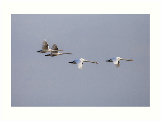 Family of Mute swans in formation by Dave  Knowles