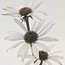 Three White Coneflowers by Sandra Foster