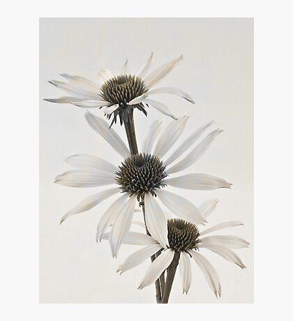 Three White Coneflowers Photographic Print