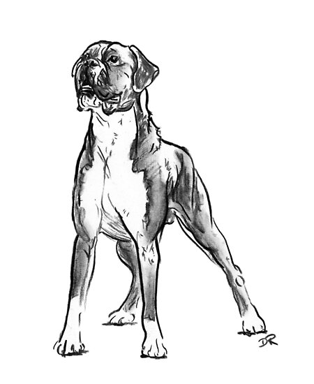 Boxer Dog Drawing by Douglas Rickard