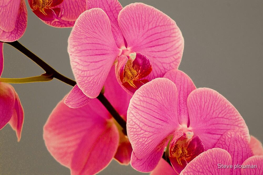 Orchid by Steve plowman