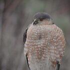 Sharp-shinned hawk by Yukondick