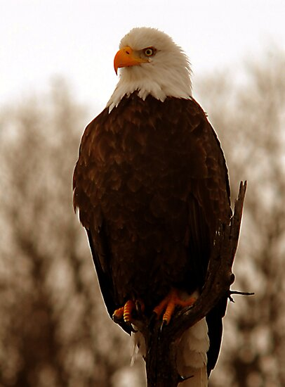 Bald Eagle - Warm Light by Ryan Houston