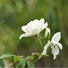 Spring rose by leegee