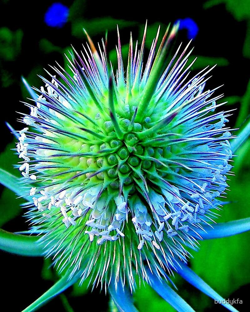 Burr Blooms by buddykfa