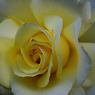 Rose - mellow yellow.......!! by Roy  Massicks