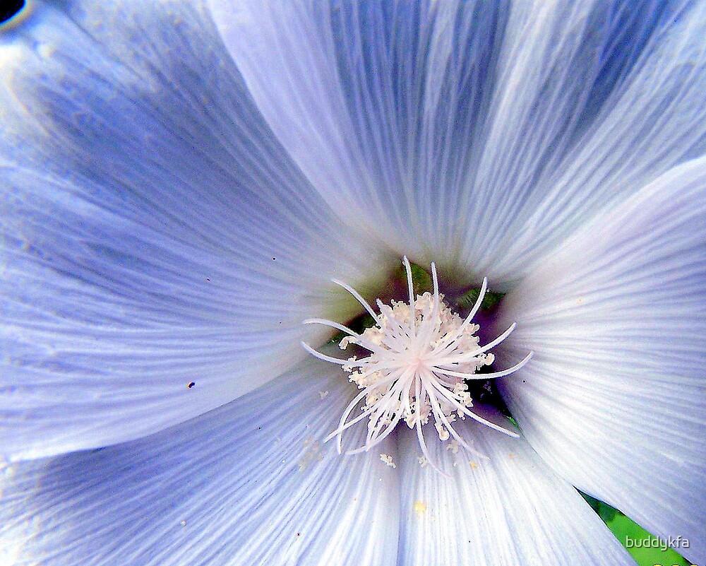 Light Blue Morning Glory by buddykfa