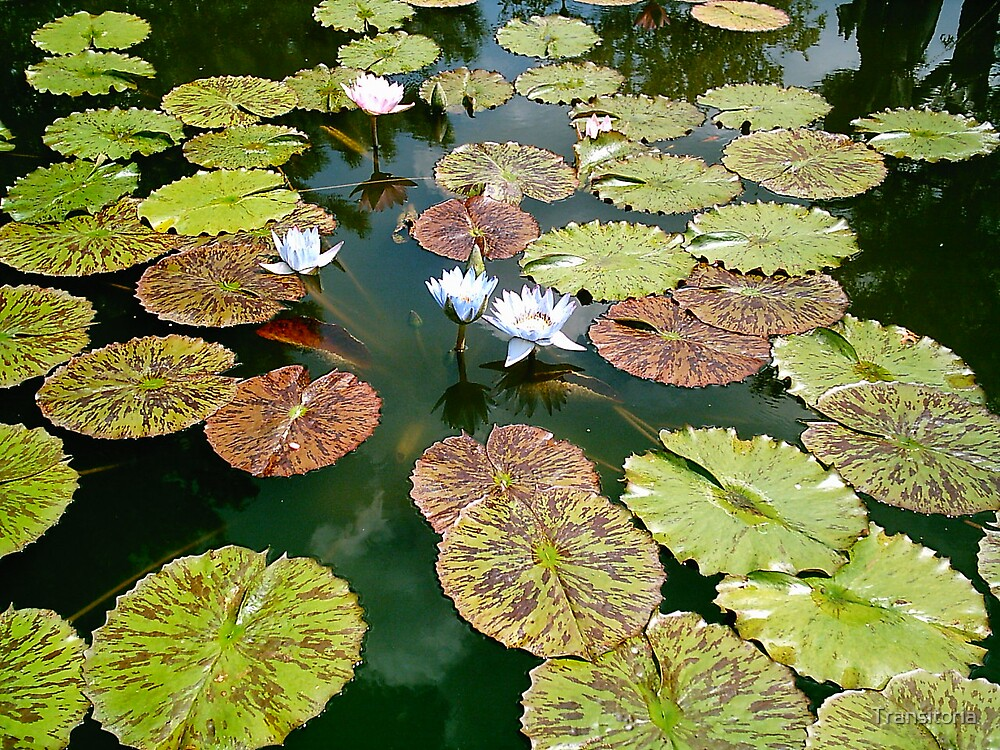 Lilly Pads and Blooms by Transitoria