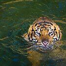 USA. Washington D.C., National Zoo. Tiger taking Bath. by vadim19