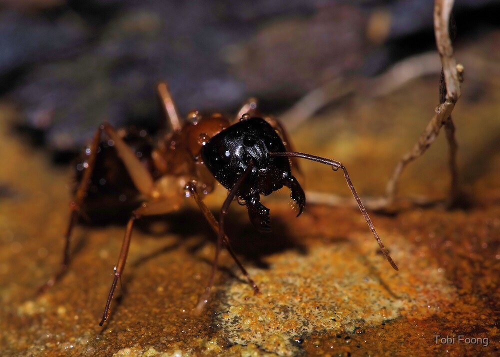 Banded Sugar Ant 1 by Tobi Foong