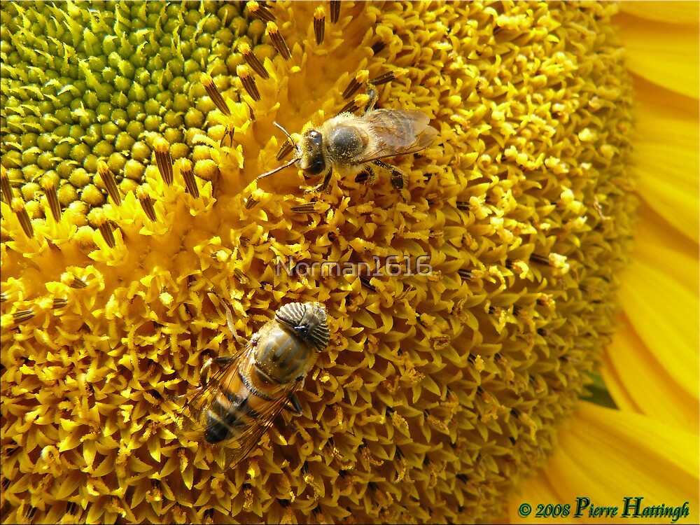 Heart of the Sunflower by Norman1616