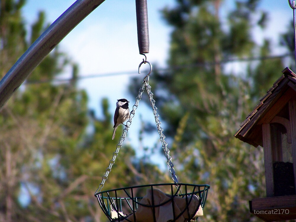 black capped chickadee by tomcat2170