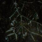 Snow on a Pine Bough by silverdragon