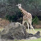 Animal kingdom Reticulated Giraffe by Forget-me-not