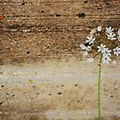 Garlic flower on rough wall. by fruitcake